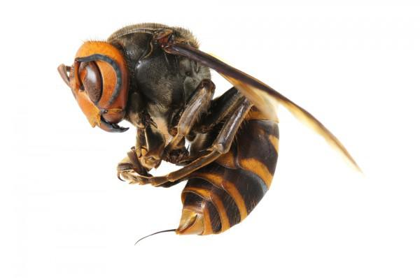 haben hornissen einen stachel