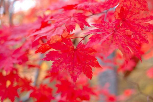 rote ahorn und frost in frühling
