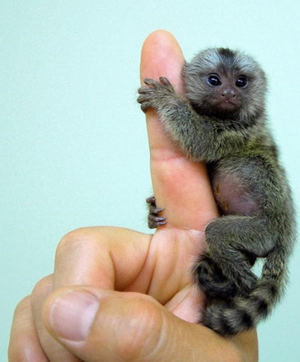 Zwergseidenaffchen Der Kleinste Affe