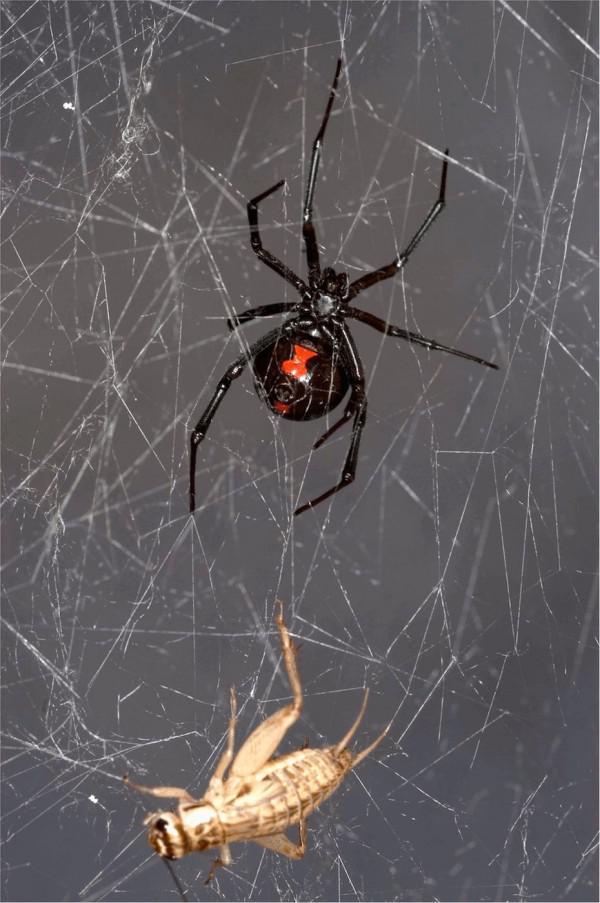 Spinnweben Halten Genetische Geheimnisse Uber Spinnen Und Ihre Beute