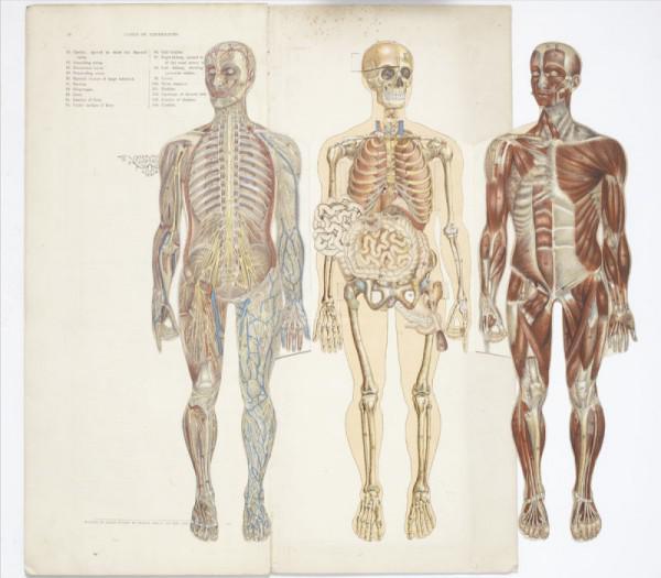 29 anatomische Modelle, die heute Abend Ihre Träume verfolgen wird