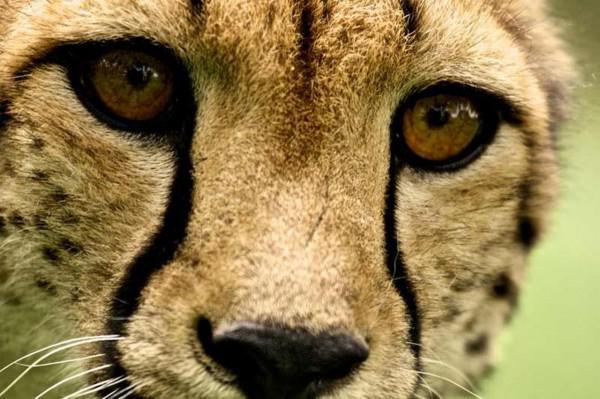 Katze-Album: Das Leben eines Geparden