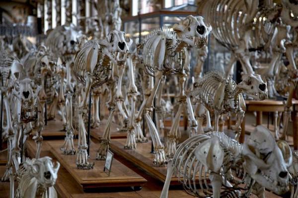 Parade der Skelette in der Galerie für Paläontologie und der ...