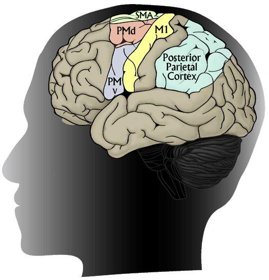 Alte Verhaltensweisen fest verdrahtet im menschlichen Gehirn