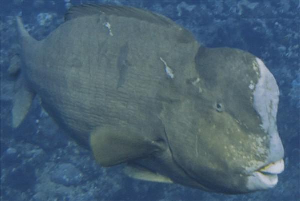 Fisch mit beule am kopf