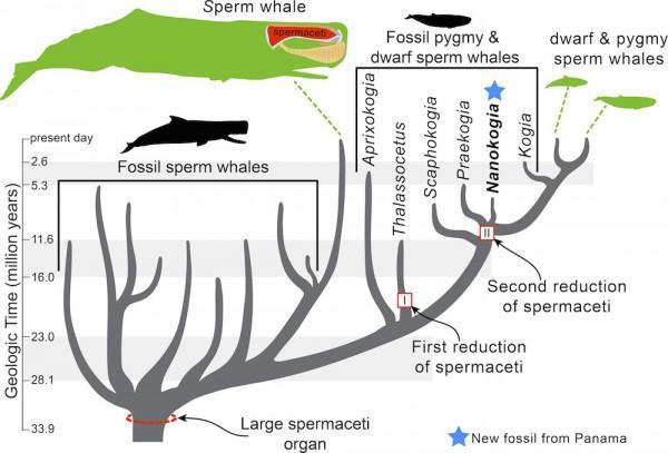 menschliche evolution stammbaum
