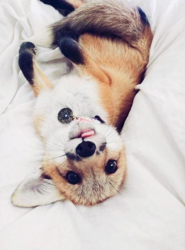 Diese Zahmen Haustier Fuchs Ist Ihr Neues Lieblings Tier Zu