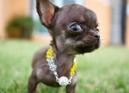 der kleinste hund der welt